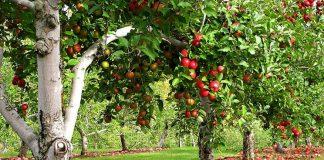 Плодовый сад в ландшафтном дизайне